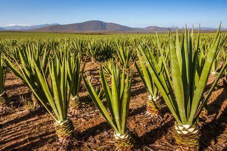 Sisal plantation near Tolanaro (Fort Dauphin), southern Madagascar 스톡 콘텐츠