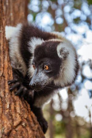 Brown and white lemur Vari (ruffed lemur) in his natural environment of Madagascar Stock Photo