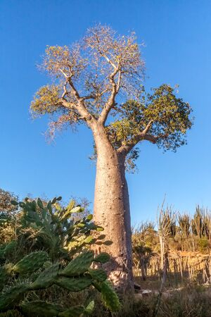 Baobab tree near Tolagnaro (Fort Dauphin), southern Madagascar