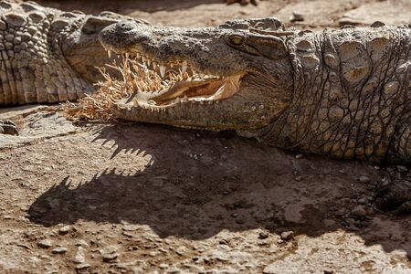 Two Nile crocodiles of Madagascar in a farm