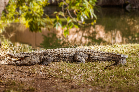 Nile crocodiles of Madagascar in his natural environment
