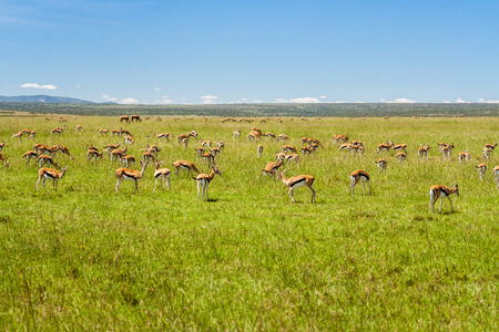 A group of Grants Gazelles grazing in the african savannah