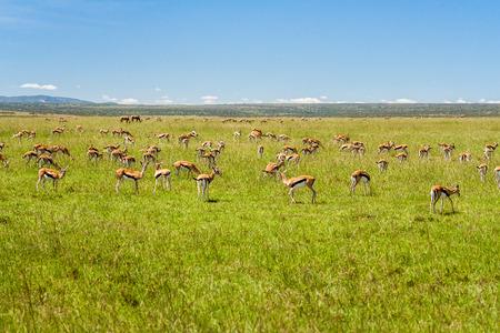 A group of Grant's Gazelles grazing in the african savannah 版權商用圖片