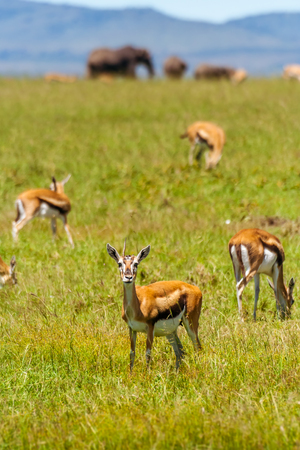A group of Grants Gazelles with elephants in background