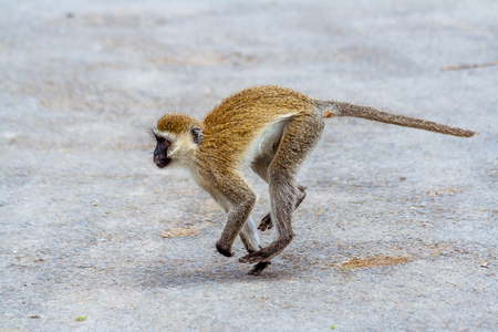 Vervet Monkey (Chlorocebus Pygerythrus) running in Nakuru, Kenya Stock Photo
