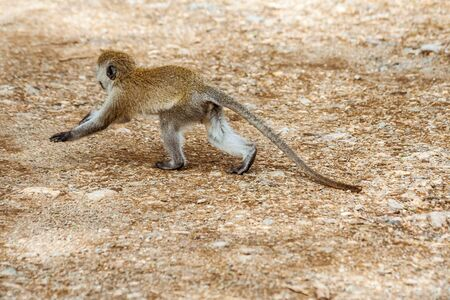 Young Vervet Monkey (Chlorocebus Pygerythrus) running in Nakuru, Kenya