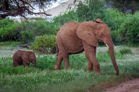African elephant family in Kenya