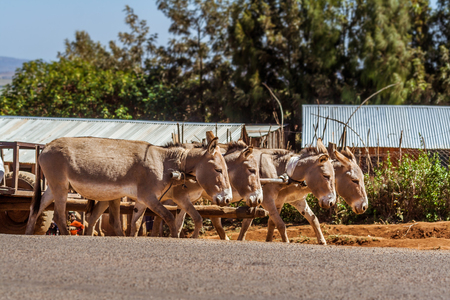 Kenyan donkeys pulling a cart on the Kenyan uplands