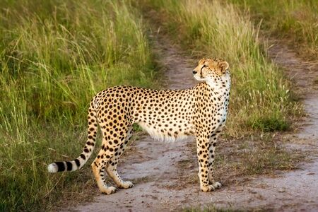 Cheetah (Acinonyx jubatus), in the Masai Mara, Kenya, africa Stock Photo