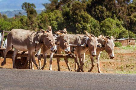 Kenyan donkeys pulling a cart on the Kenyan uplands