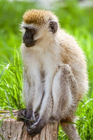 Vervet Monkey (Chlorocebus Pygerythrus) sitting in Nakuru, Kenya Stock Photo