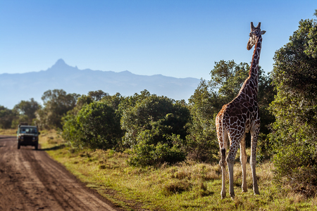 Giraffe looking at tourists in the African Savannah, Kenya Banque d'images