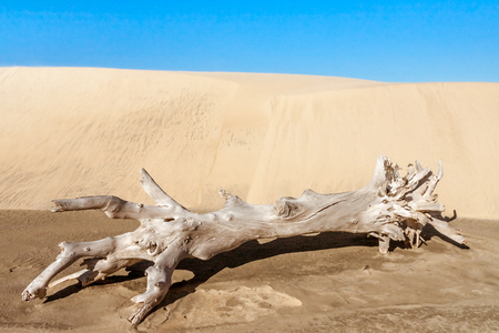 Old tree stump in front of a sand dune