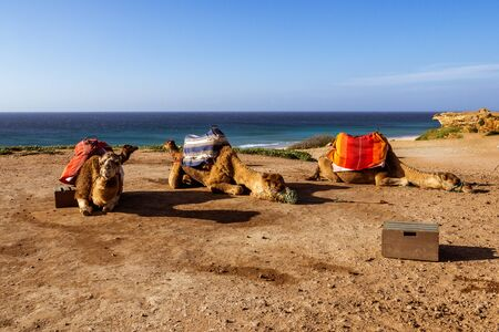 Touristics camels on the dromedary terrace of Tangier, north of Morocco Foto de archivo