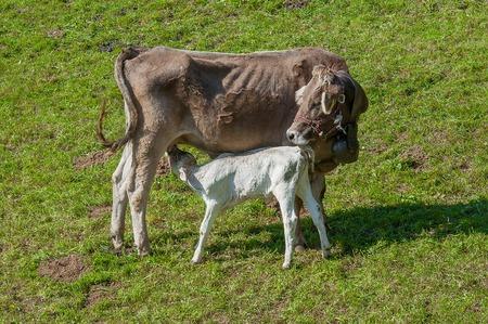 cow that nurses grazing calf Stock Photo