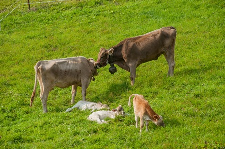 cow with newly born calf