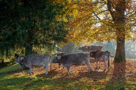 grazing cows feeding on grass