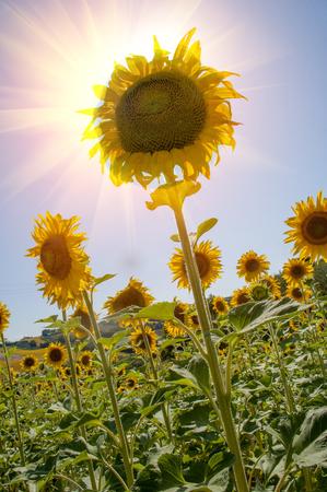 Champ fleuri de tournesols Banque d'images - 96624496