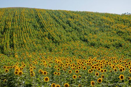 flowery field of sunflowers Banque d'images