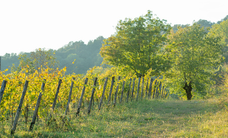 row of vines in Lombardy