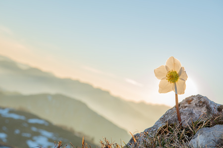 Helleborus is a flower that blooms in the snow