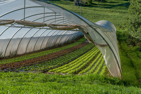 organic cultivation of vegetables in greenhouses 스톡 콘텐츠