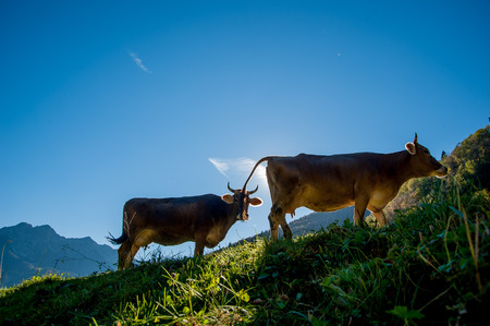 cows grazing on the mountain pasture
