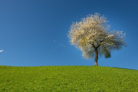 cherry tree blooming in the hills 스톡 콘텐츠