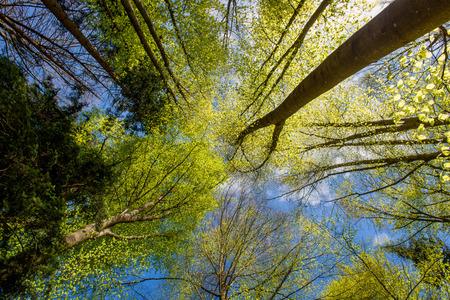 boomstammen in het bos wijnstokken van onderaf Stockfoto