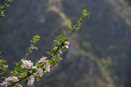 peach tree with flowers in spring