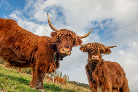 Scottish Highland cows grazing in the mountains