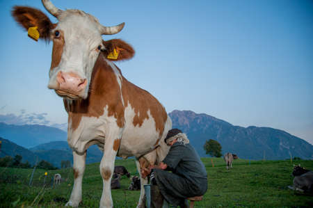Dossena Italy 7 October 2012: Peasant woman milking the cows with her hands Stockfoto