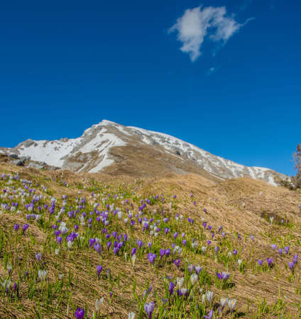 freshly blossomed crocus flowers in the mountains