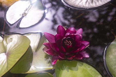 Red water lily 版權商用圖片