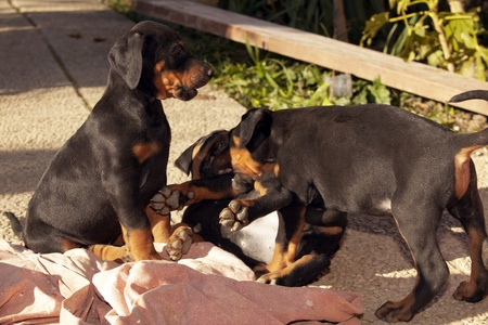 three dobermann puppies are playing