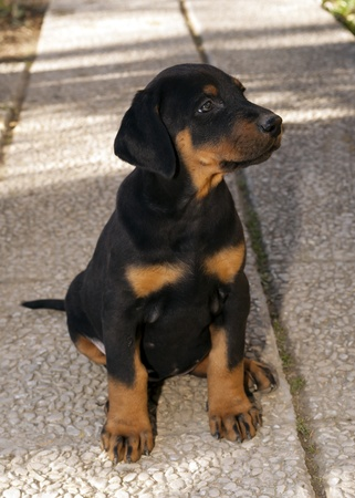 dobermann puppy Stock Photo
