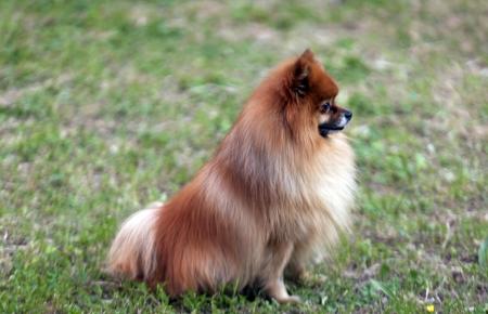 pomerian puppy Stock Photo