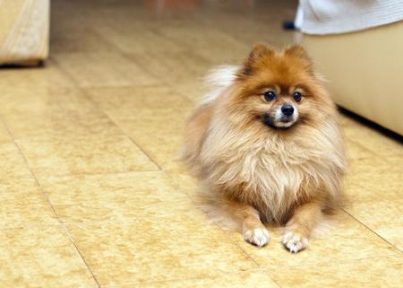 Pomeranian spitz home Stock Photo