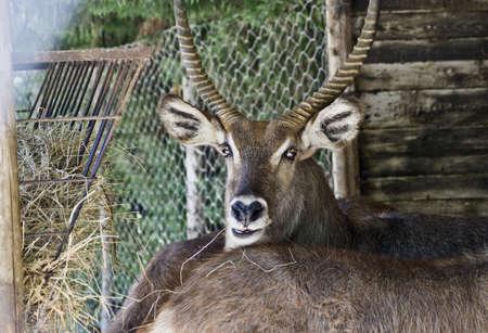 deer African