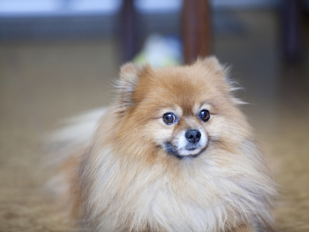 Pomeranian spitz puppy Stock Photo