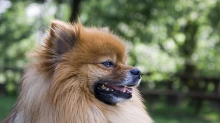 spitz puppy Stock Photo