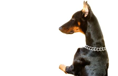 Doberman on white background