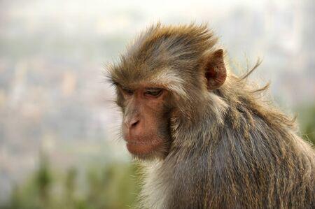 chimpances: mono grande en nepal