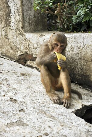 monkey in nepal Stock Photo