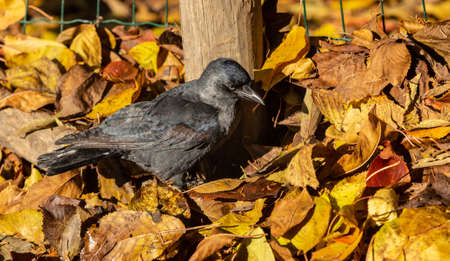 Common Jackdaw - this small bird turned out to be extremely playful, which it showed by throwing leaves at people's feet.