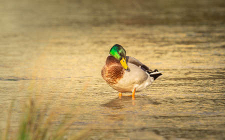 Mallard duck -invasive species incl. In Australia and New Zealand, and its negative impact is, among others, on crossing with native species of ducks and the transmission of diseases.