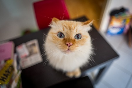 Birman cat Stock Photo