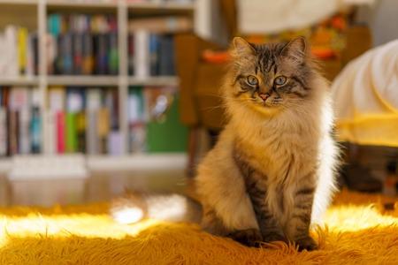 Birman cat Standard-Bild