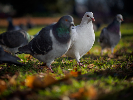 feral: Pigeons Stock Photo