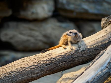 meercat in zoo